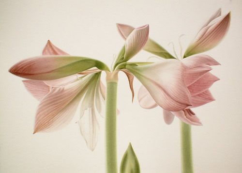 Amaryllis Blooms and buds