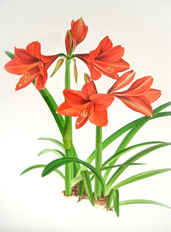 Cluster                   of Red Amaryllis