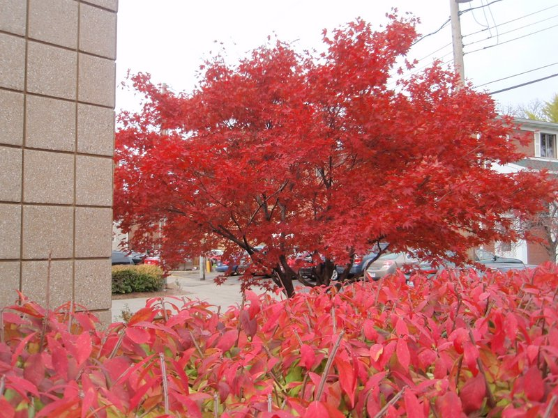 Gallery's Japanese maple